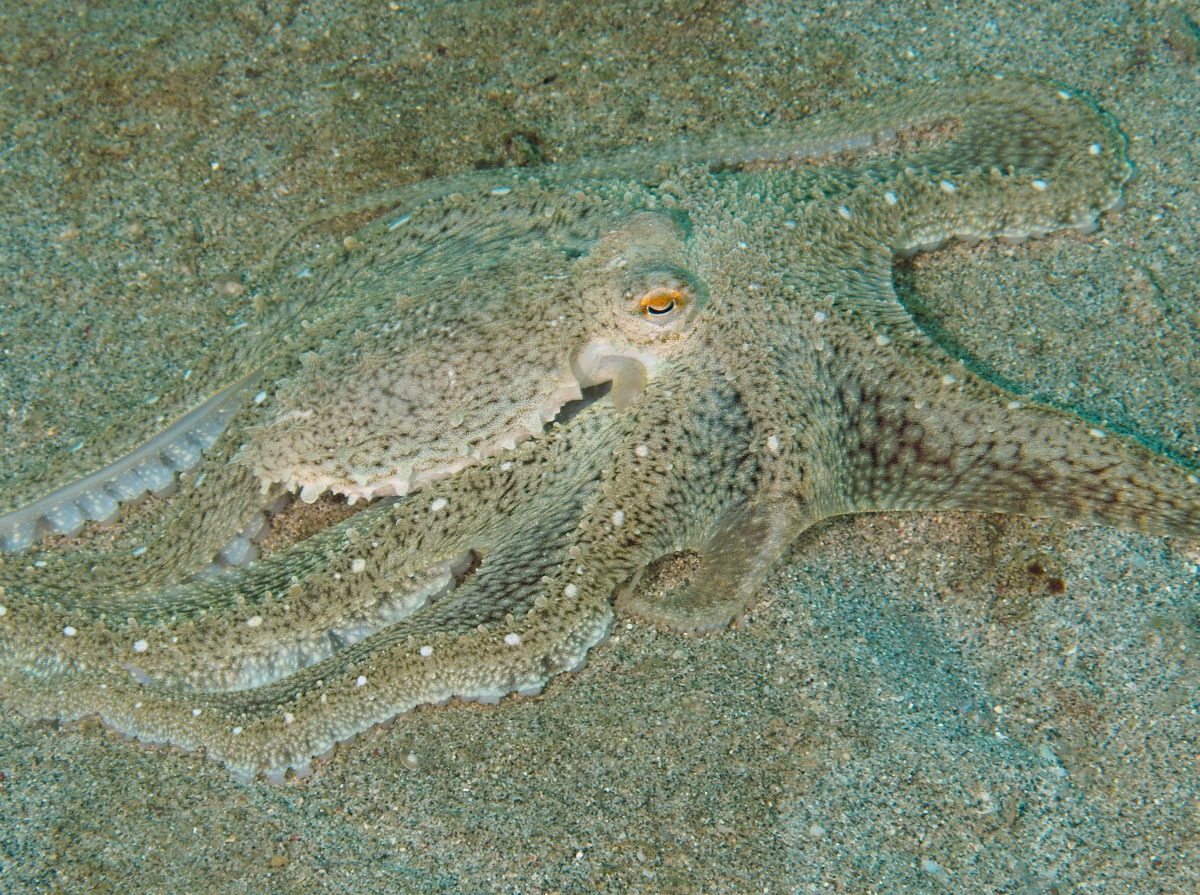 White-V Octopus - Abdopus sp.