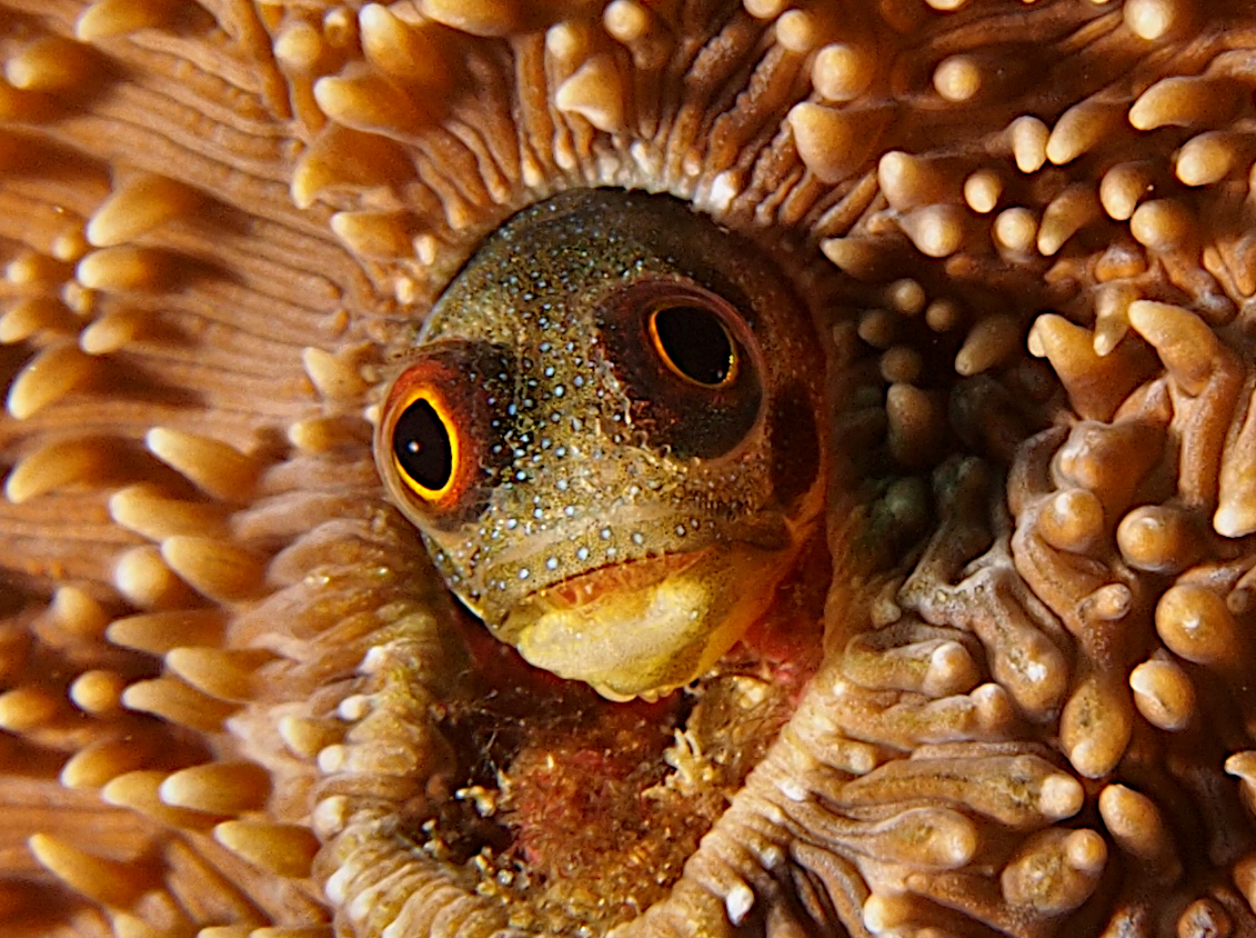 Mexican Barnacle blenny - Acanthemblemaria macrospilus