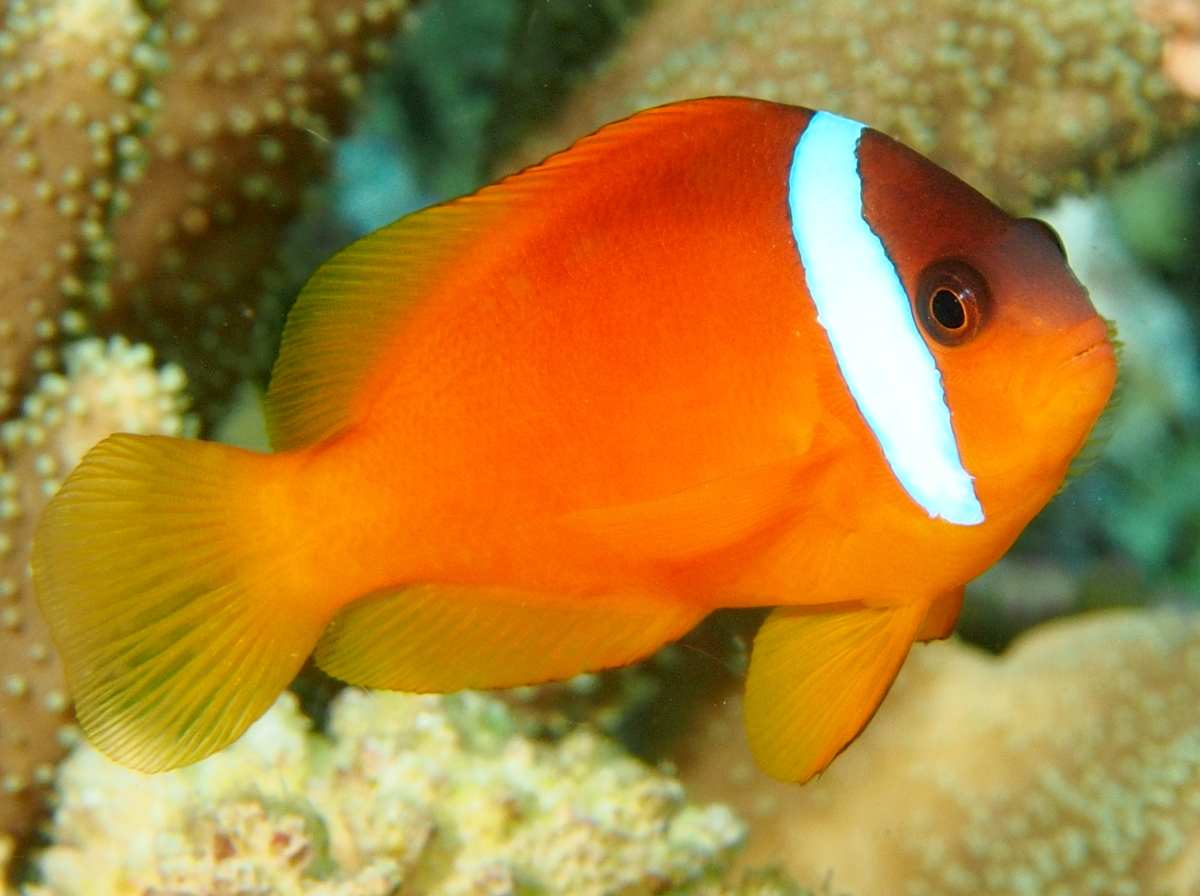 Fiji anemonefish amphiprion barberi anemonefishes for Clown fish scientific name