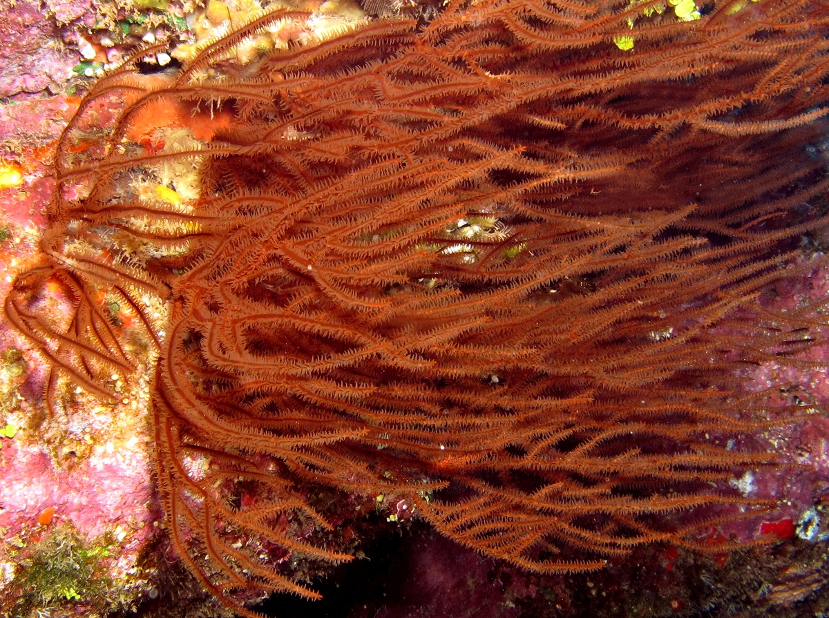 Hawaiian Black Coral - Antipathes griggi - Lanai, Hawaii