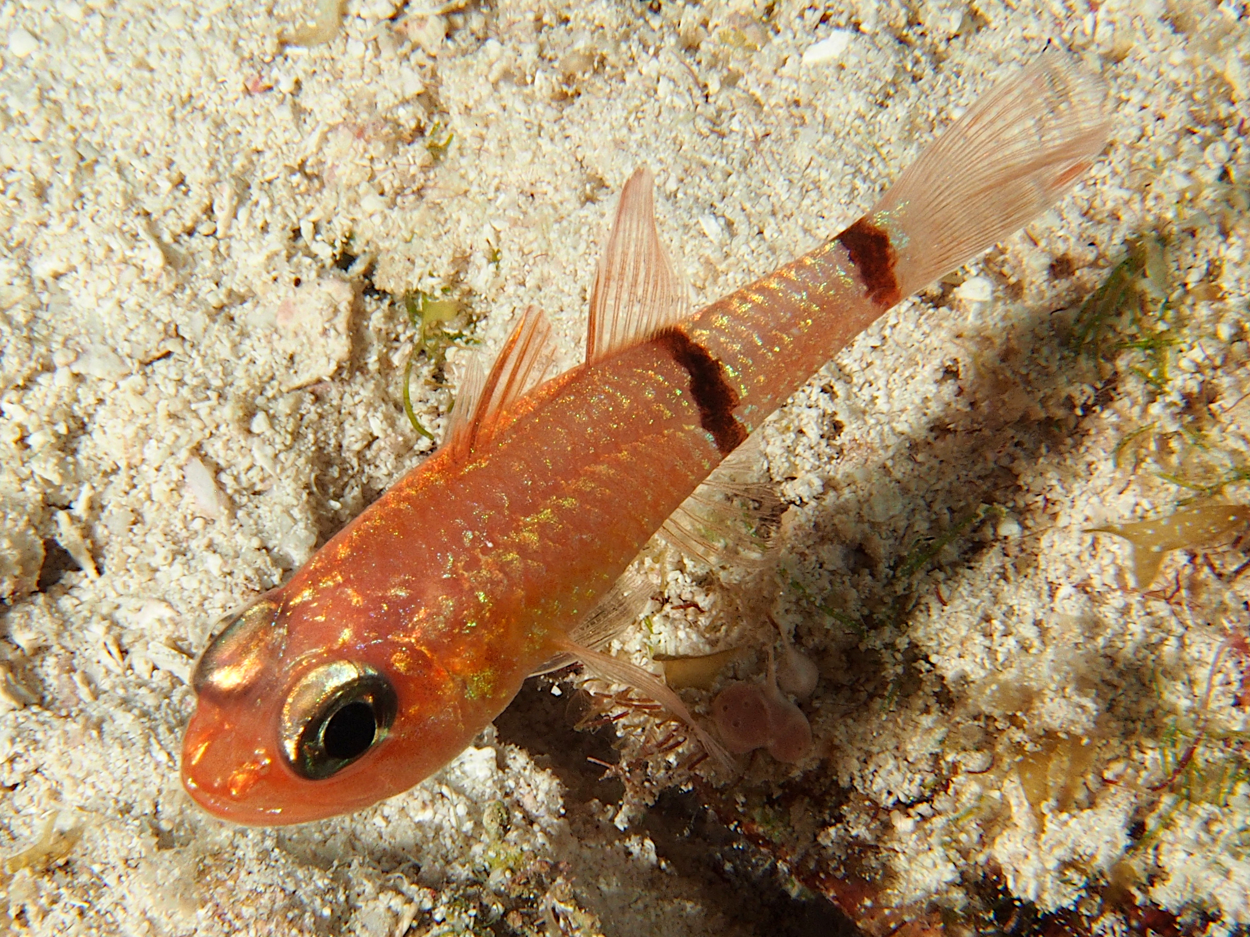 Barred Cardinalfish - Apogon binotatus