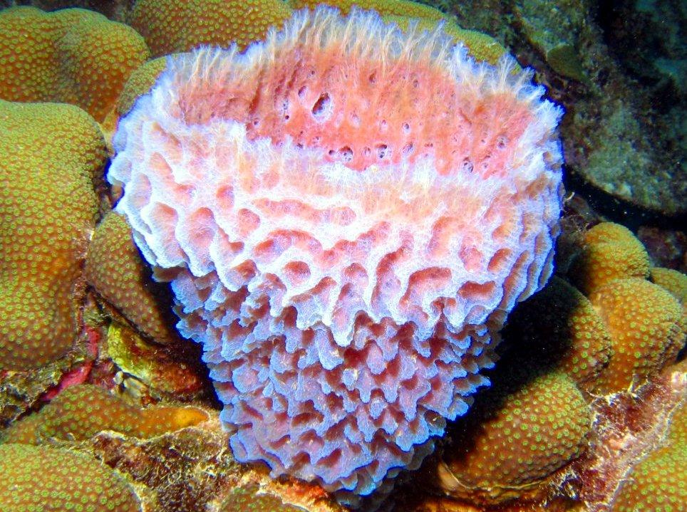 Callyspongia Plicifera Azure Vase Sponge