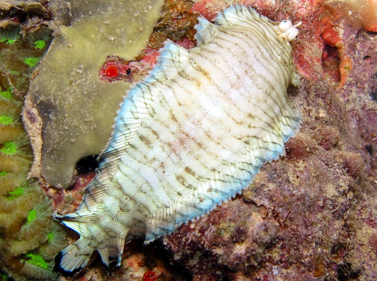 Banded Sole - Soleichthys heterorhinos - Yap, Micronesia
