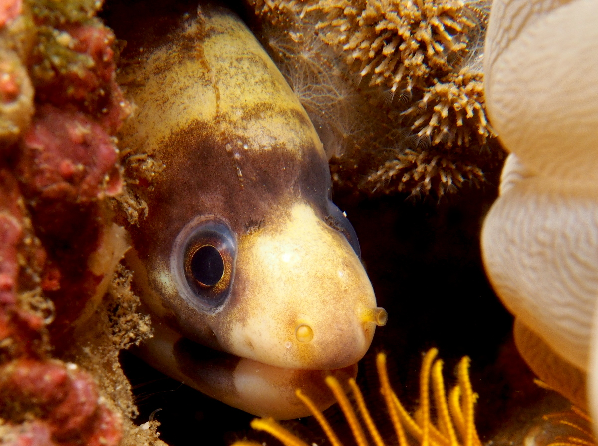 Barred Moray Eel - Echidna polyzona - Lembeh Strait, Indonesia