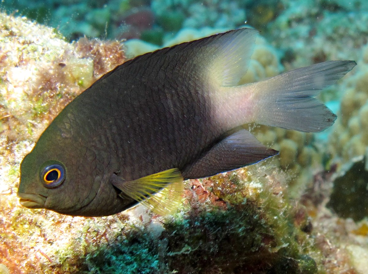 Bicolor Damselfish - Stegastes partitus