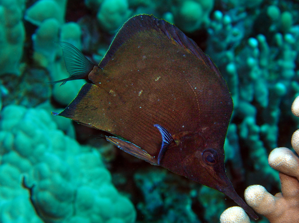 Big longnose butterflyfish dark form forcipiger for Big nose fish