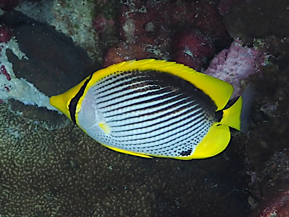 Black-Backed Butterflyfish - Chaetodon melannotus