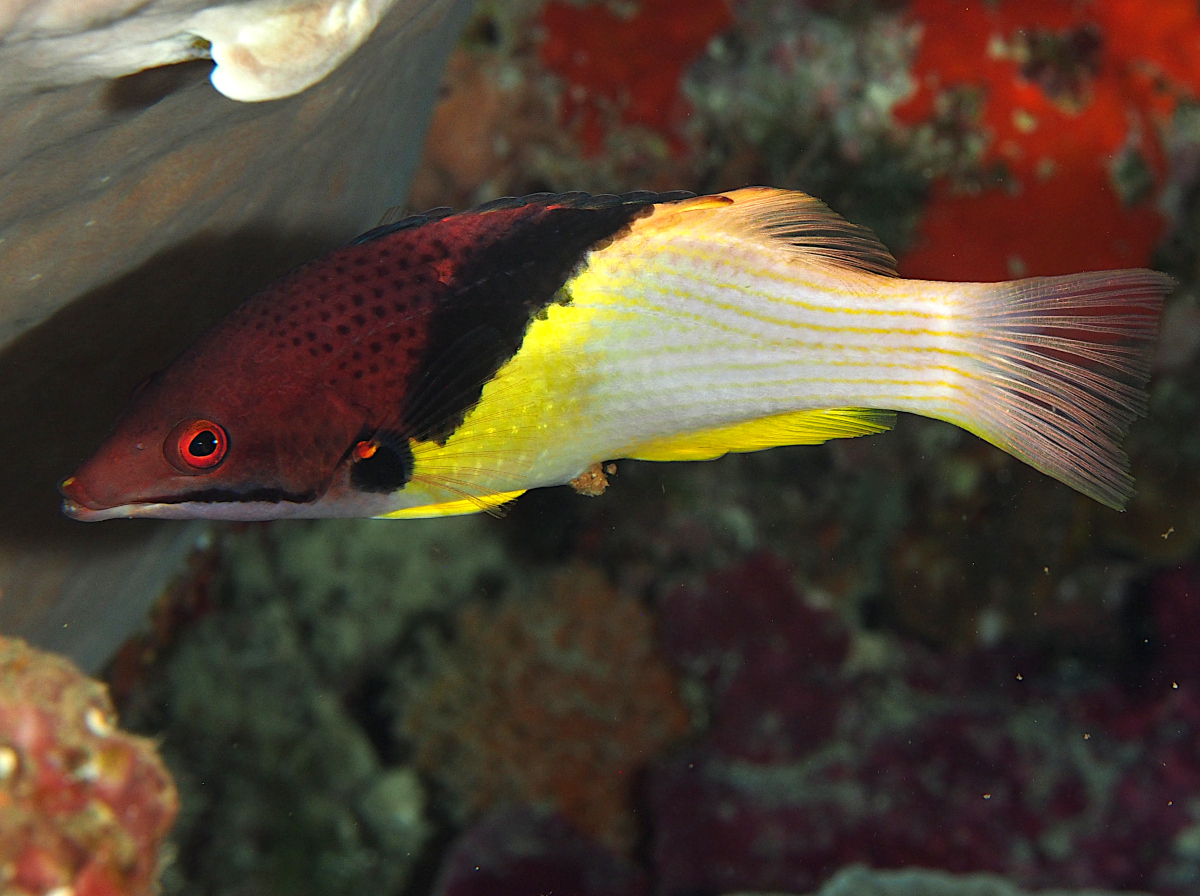 Blackbelt Hogfish - Bodianus mesothorax
