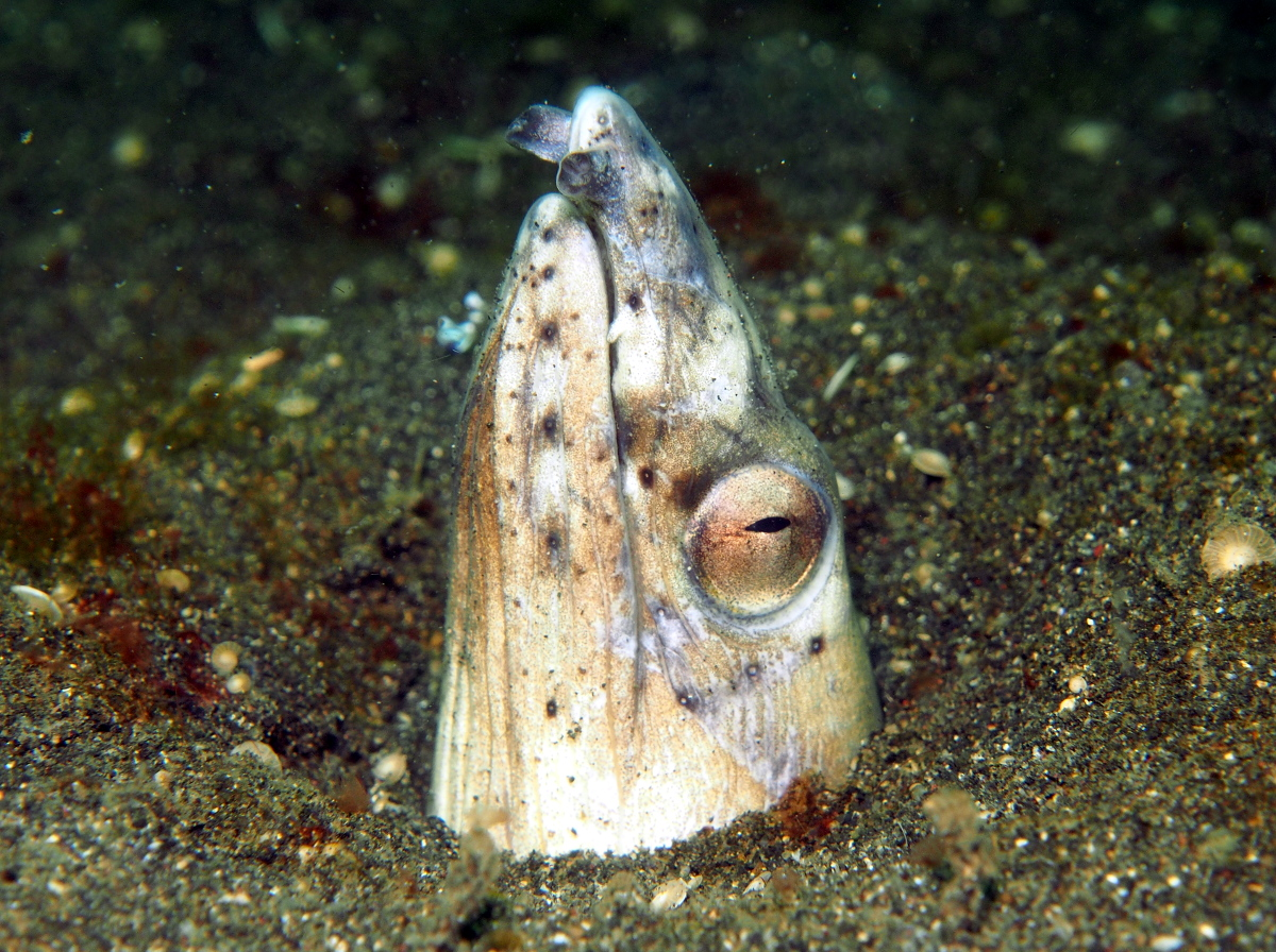 Black-Finned Snake Eel - Ophichthus altipennis