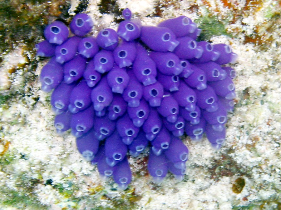 Blue Bell Tunicate - Clavelina puerto-secensis