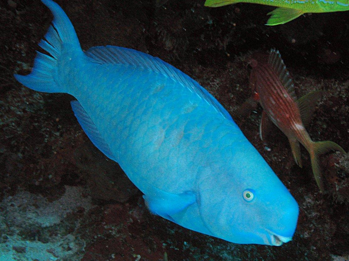 Blue parrotfish scarus coeruleus isla mujeres mexico for Blue fish florida