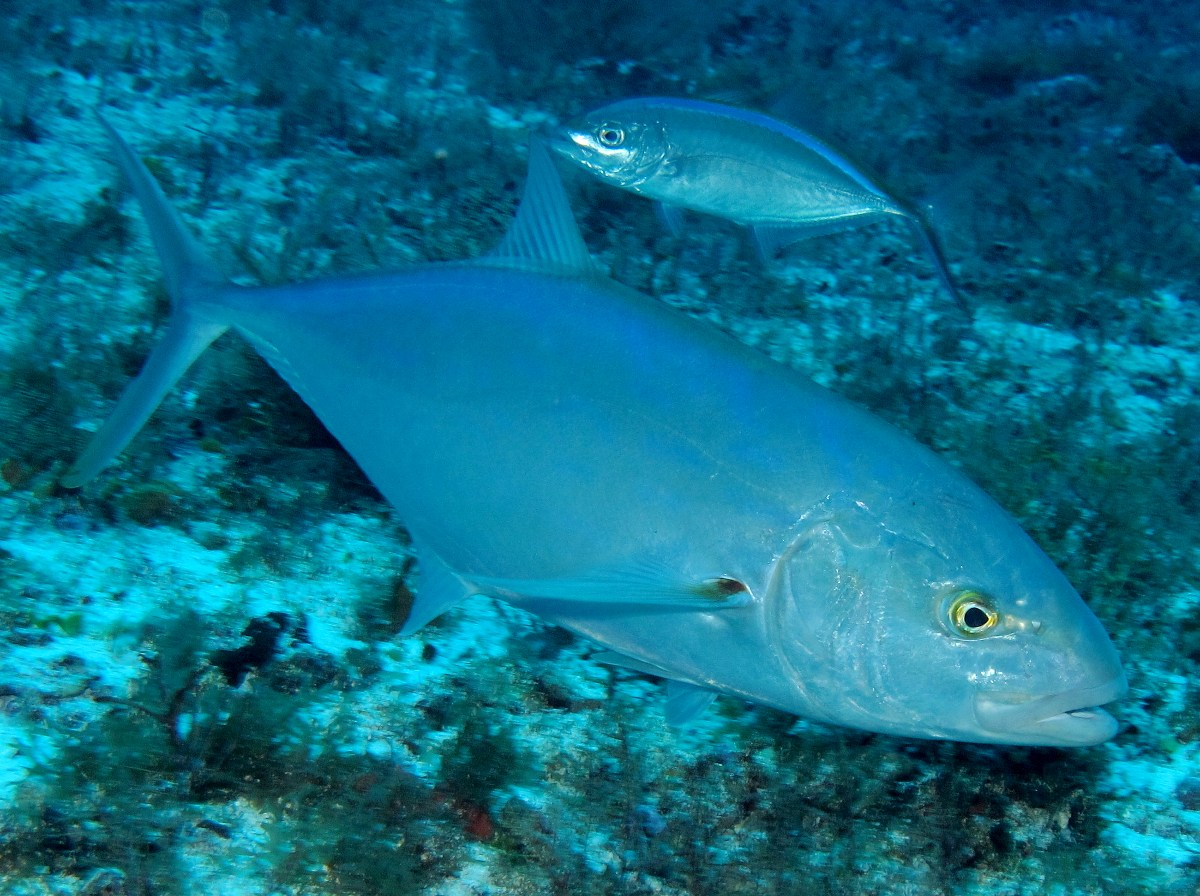 Blue runner caranx crysos jacks tropical reefs for Blue runner fish