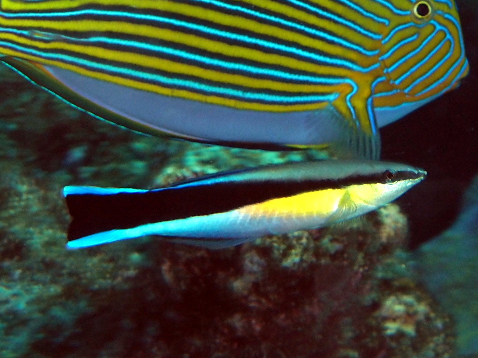 Bluestreak Cleaner Wrasse - Labroides dimidiatus