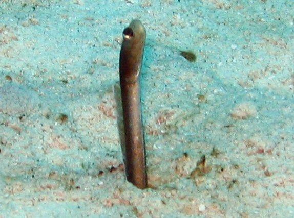 Brown Garden Eel - Heteroconger longissimus - Nassau, Bahamas ...