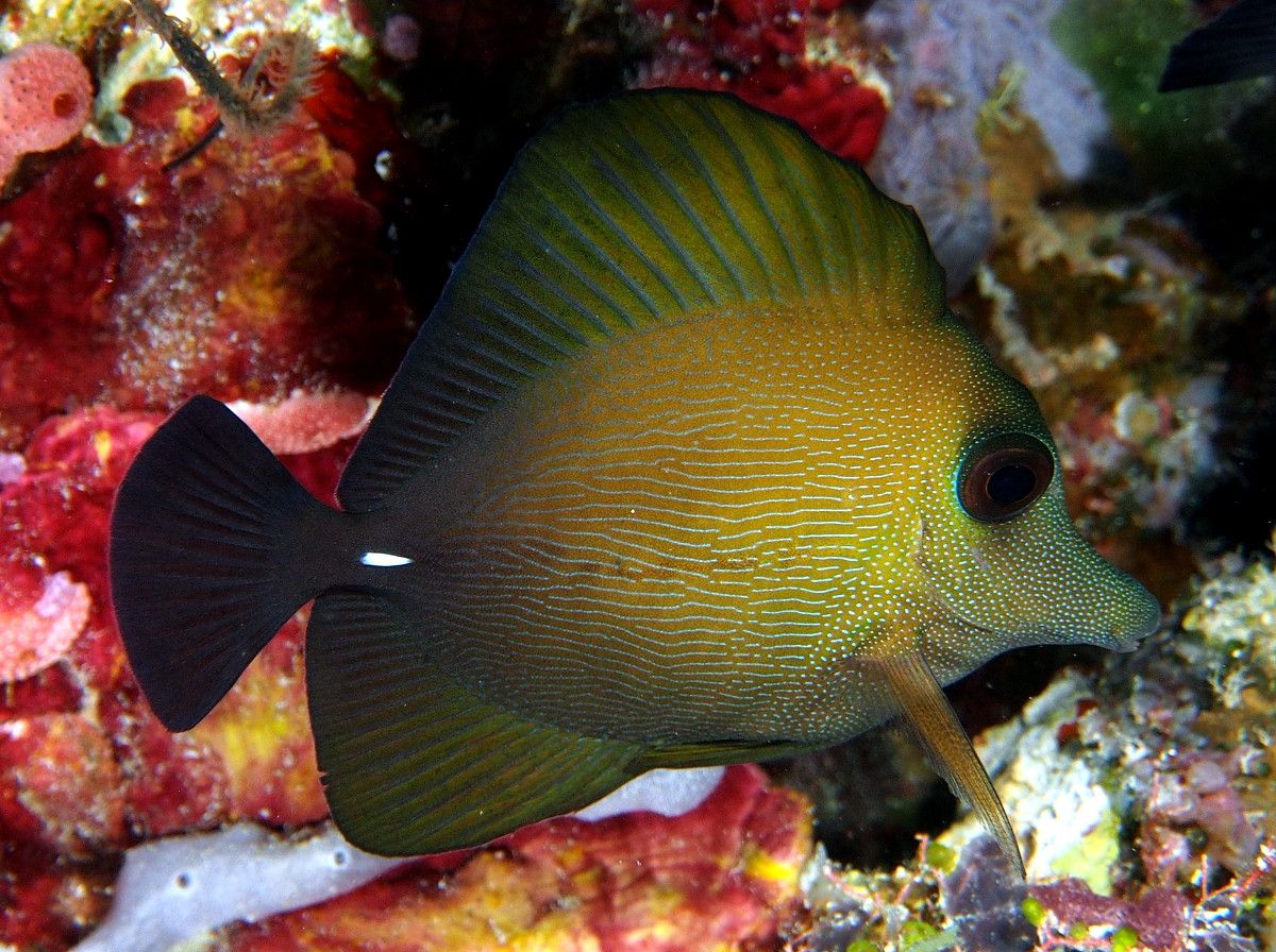 Brushtail Tang - Zebrasoma scopas