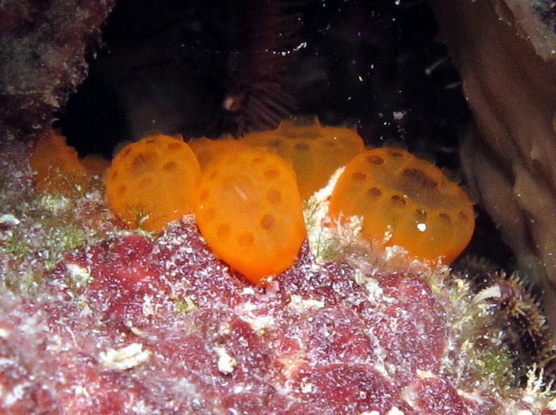 Button Tunicate - Distaplia corolla - Bonaire