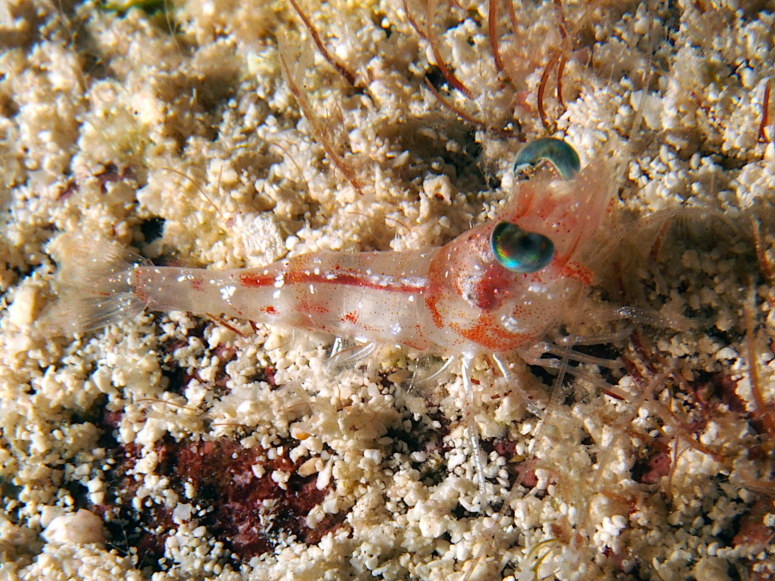 Carribean Velvet Shrimp - Metapenaeopsis goodei