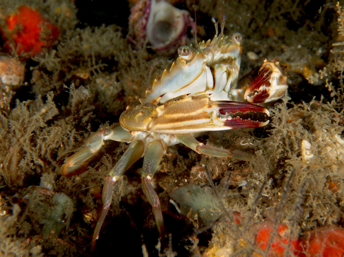 Indo-Pacific Swimming Crab - Charybdis hellerii