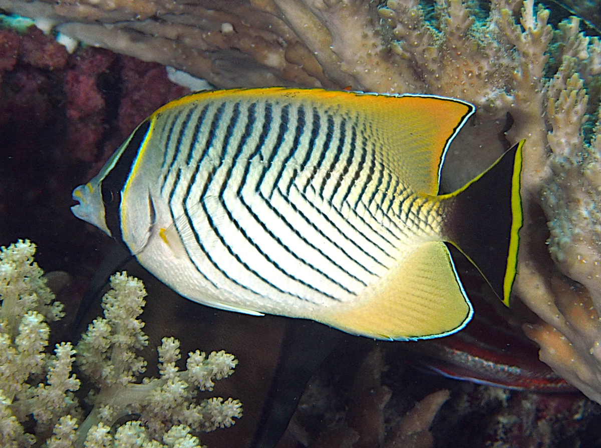 Chevroned Butterflyfish - Chaetodon trifascialis