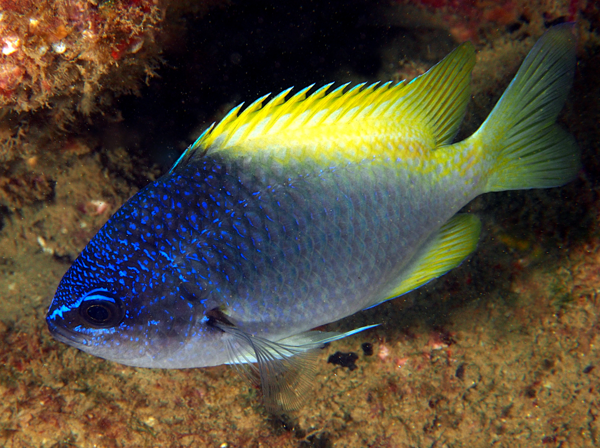 Blue-and-Yellow Chromis - Chromis limbaughi - Cabo San Lucas, Mexico