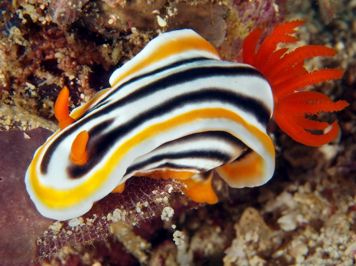 Magnificent Chromodoris - Chromodoris magnifica