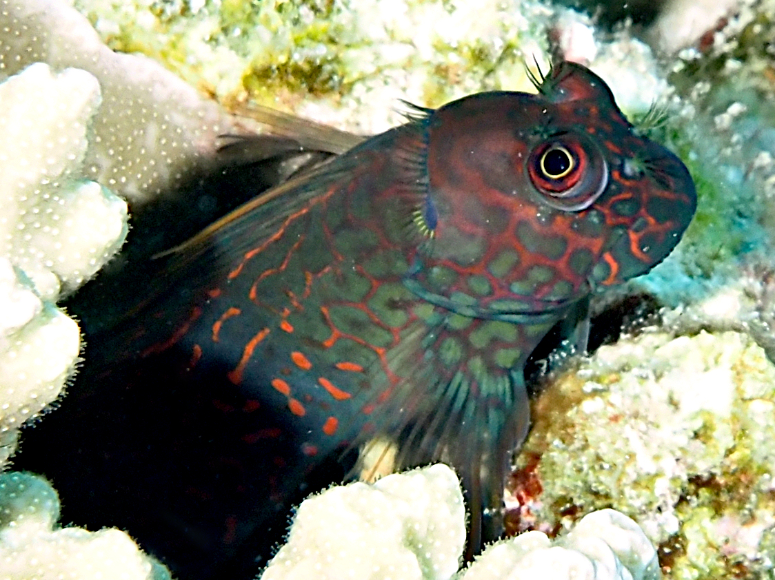 Redstreaked Blenny - Cirripectes stigmaticus - Great Barrier Reef, Australia