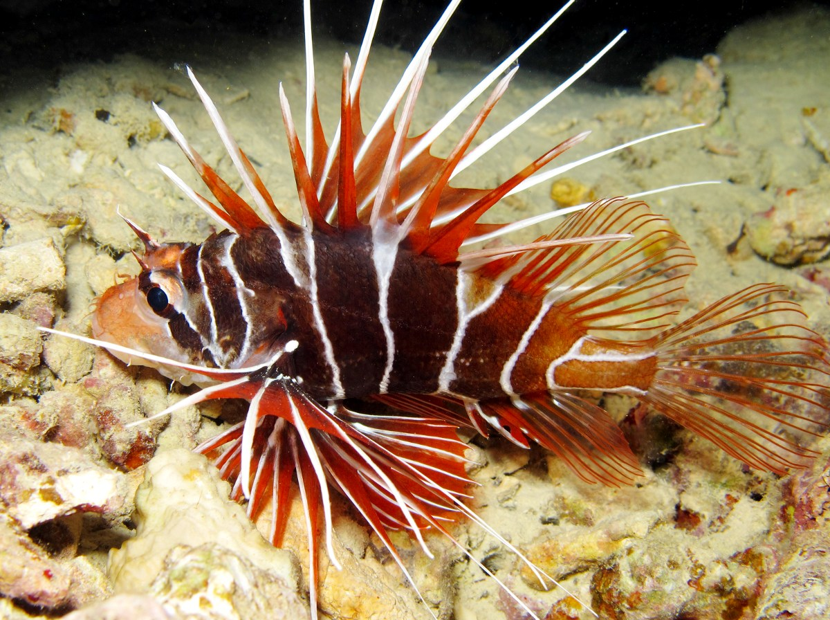 Clearfin Lionfish - Pterois radiata - Yap, Micronesia