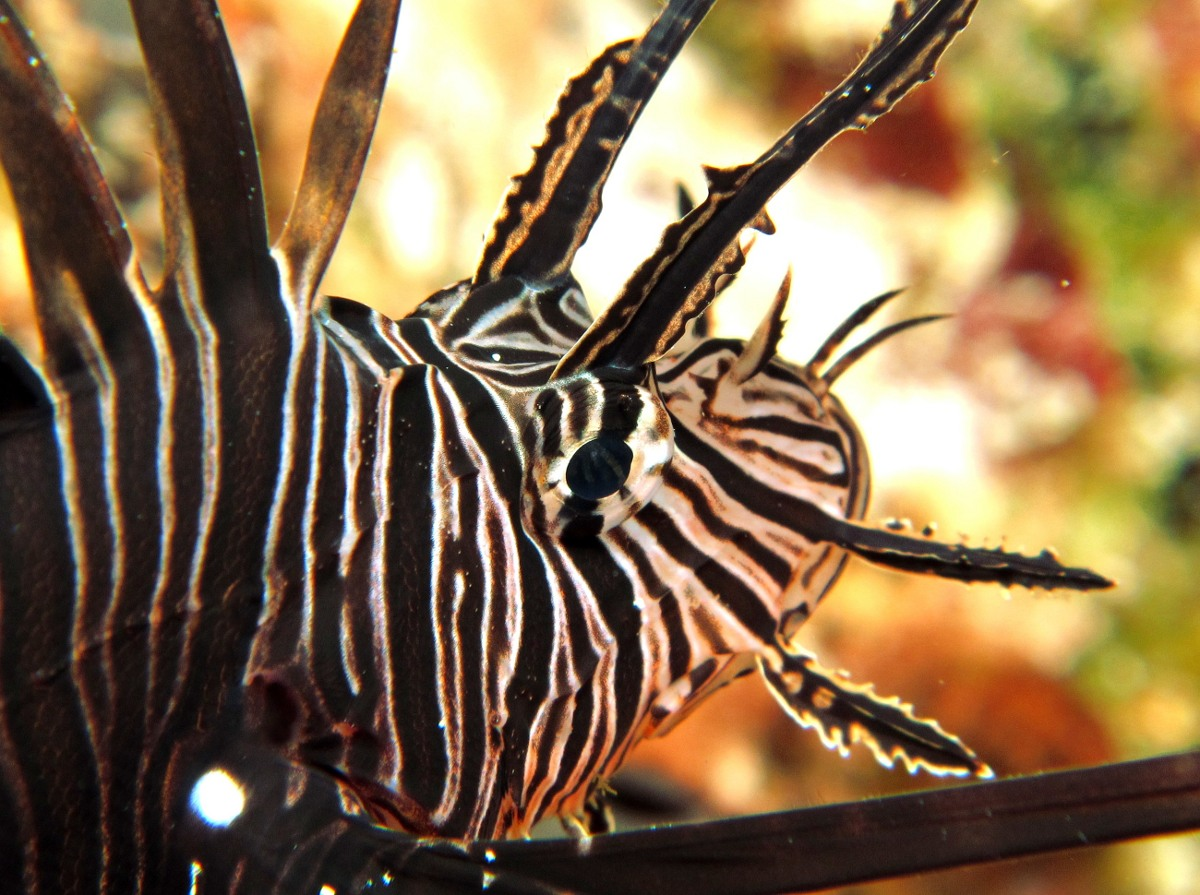 Common Lionfish - Pterois volitans