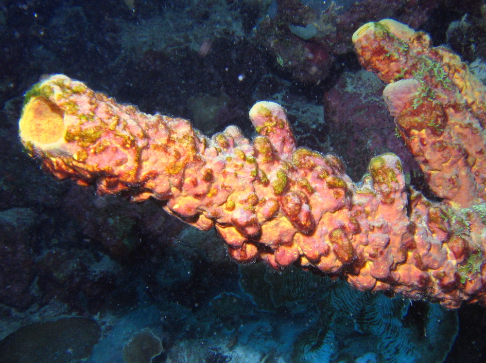 Convoluted Barrel Sponge - Aplysina lacunosa