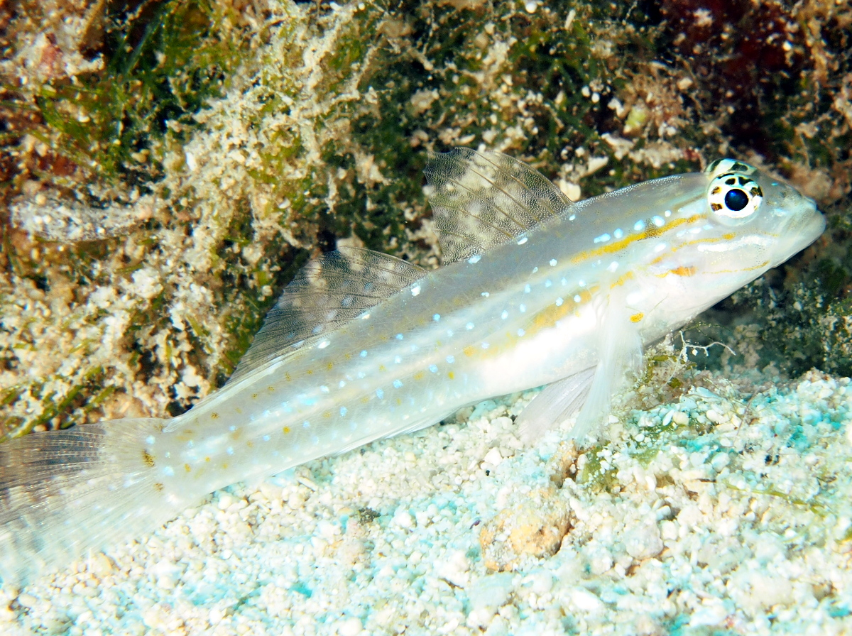 Sand-Canyon Goby - Coryphopterus venezuelae