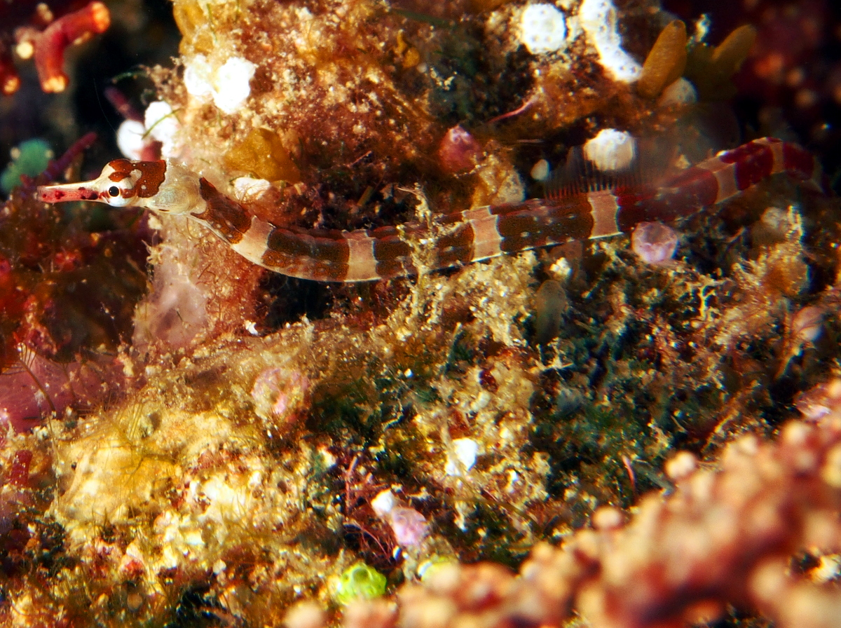 Brown-Banded Pipefish - Corythoichthys amplexus