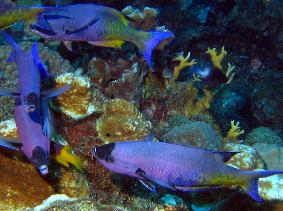 Creole Wrasse - Clepticus parrae