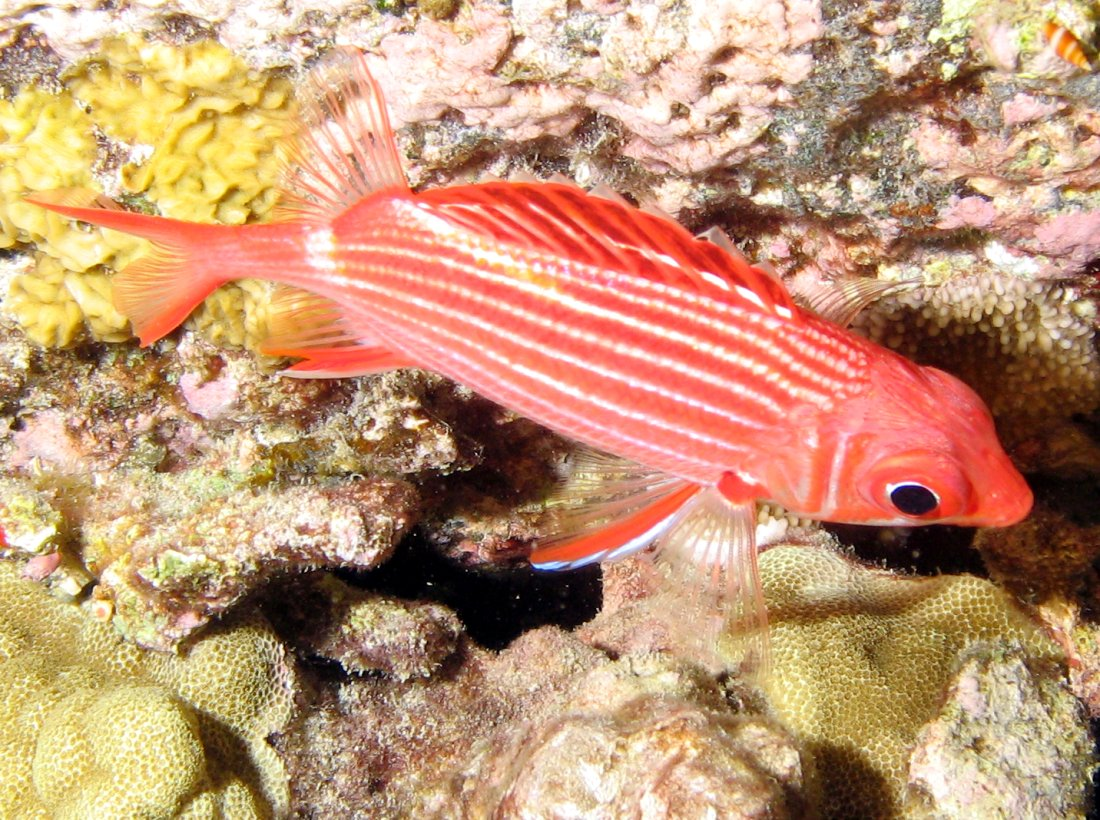 Crown Squirrelfish - Sargocentron diadema