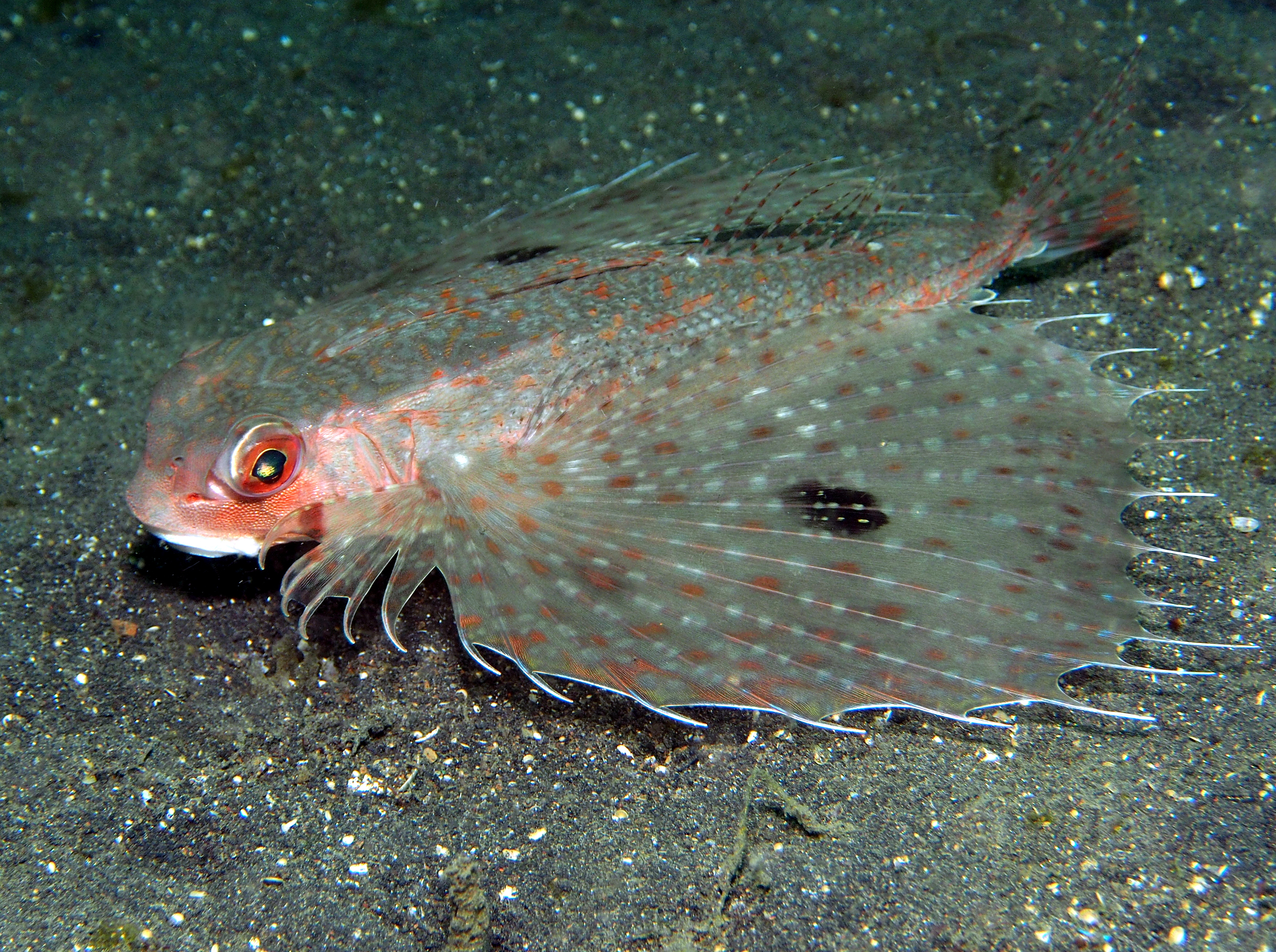 Spotwing Flying Gurnard - Dactyloptena macracantha - Lembeh Strait, Indonesia
