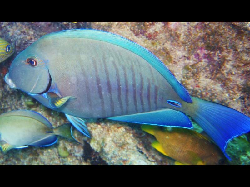 Doctorfish - photo#23