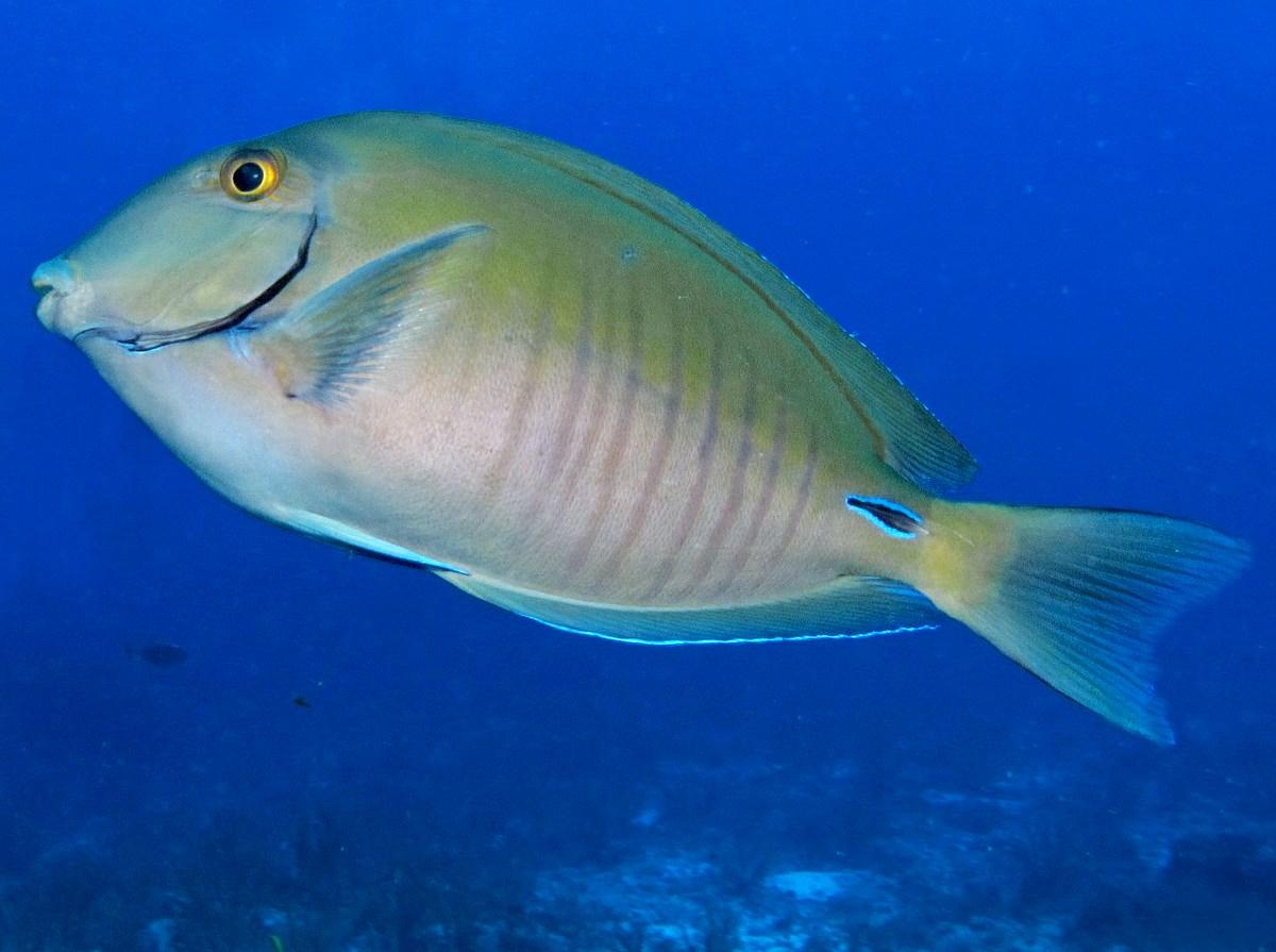 Doctorfish - photo#19