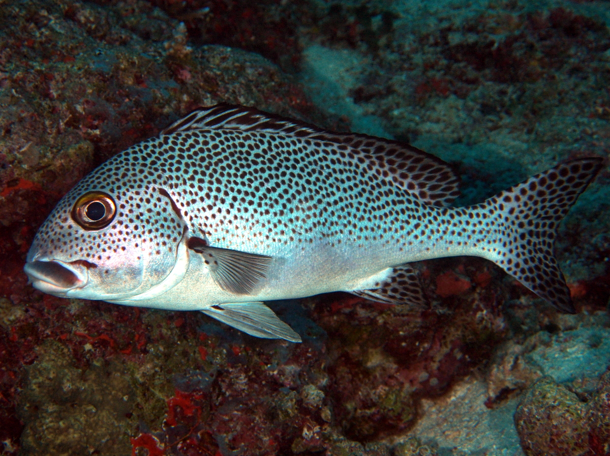 Dotted Sweetlips - Plectorhinchus picus - Fiji