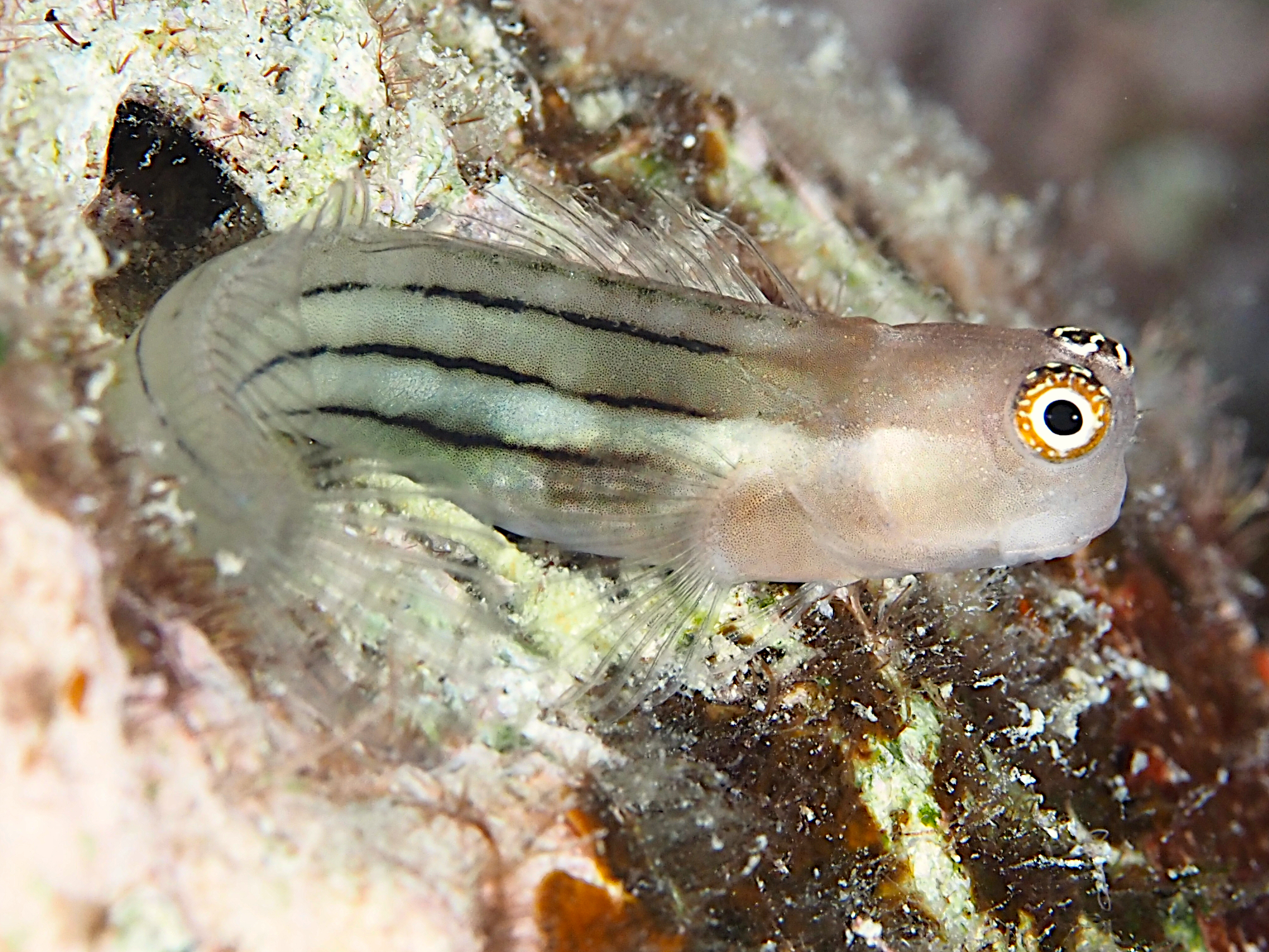 Fourline Coralblenny - Ecsenius aequalis - Great Barrier Reef, Australia
