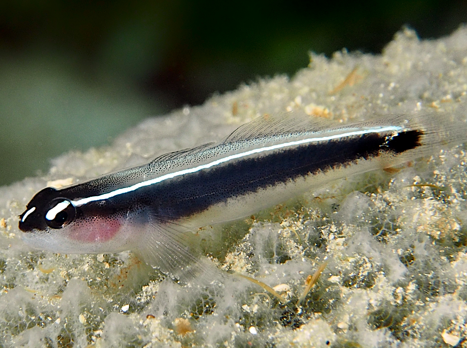 Linesnout Goby - Elacatinus lori