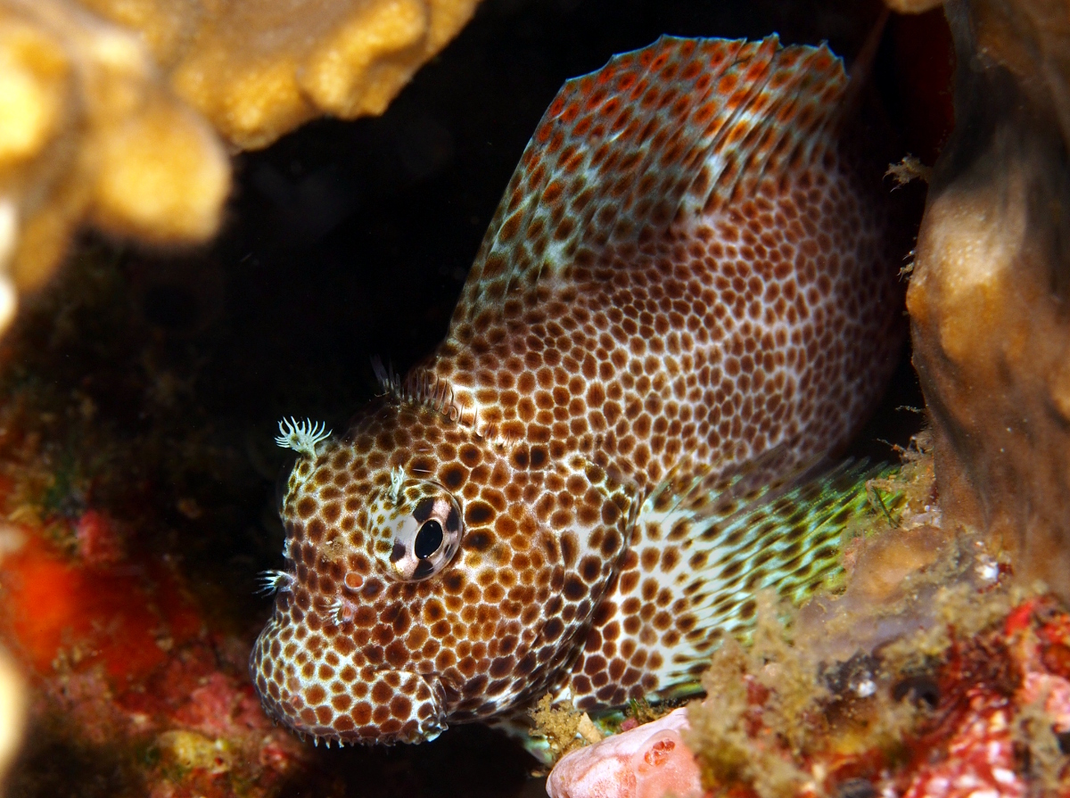 Leopard Blenny - Exallias brevis - Anilao, Philippines