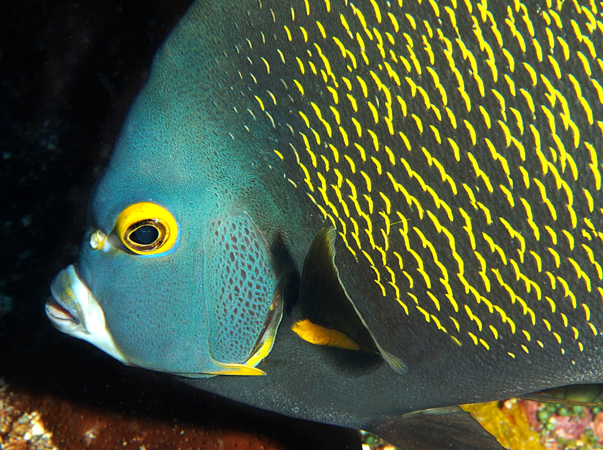 French Angelfish - Pomacanthus paru