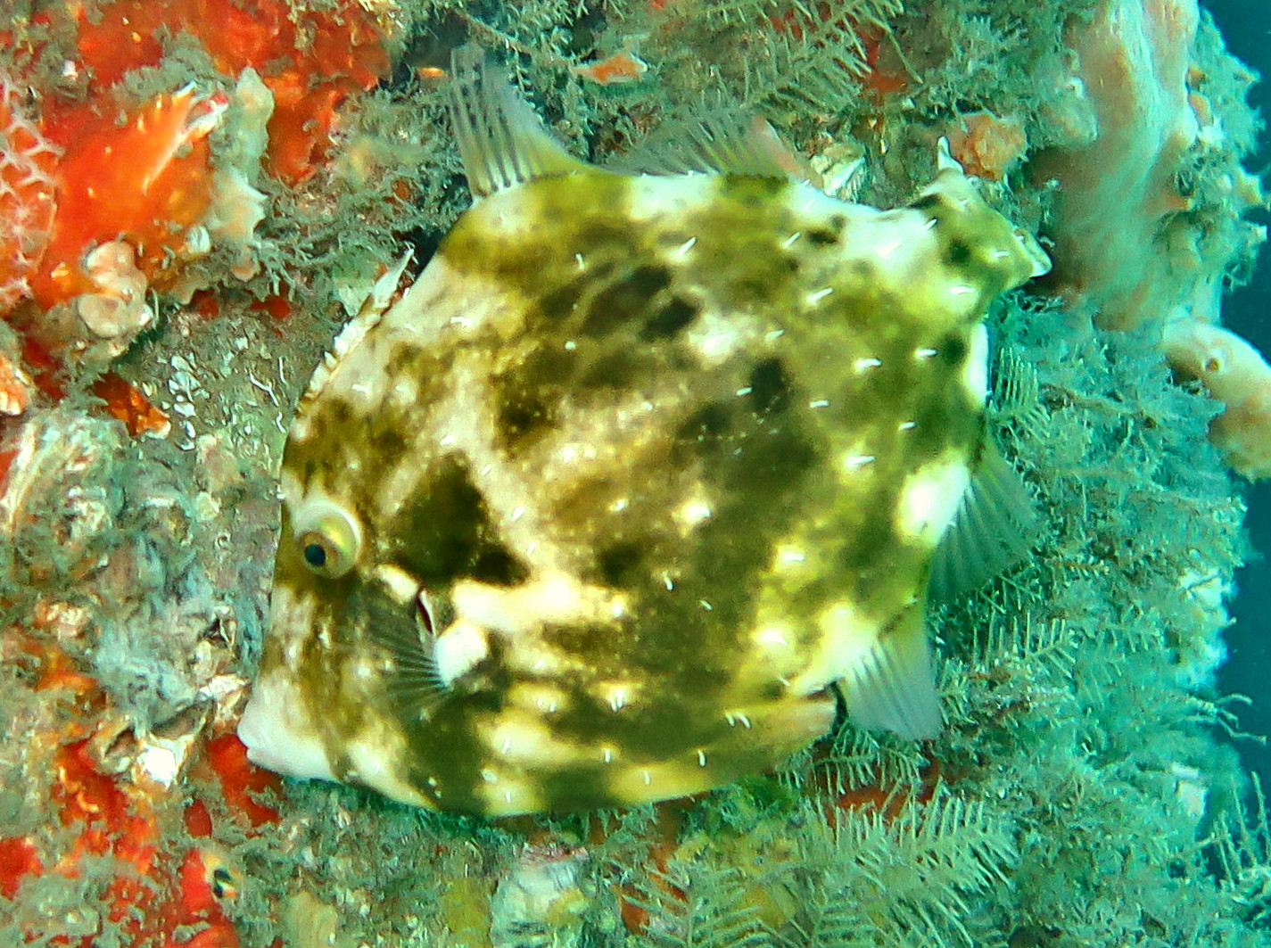 Fringed Filefish - Monacanthus ciliatus