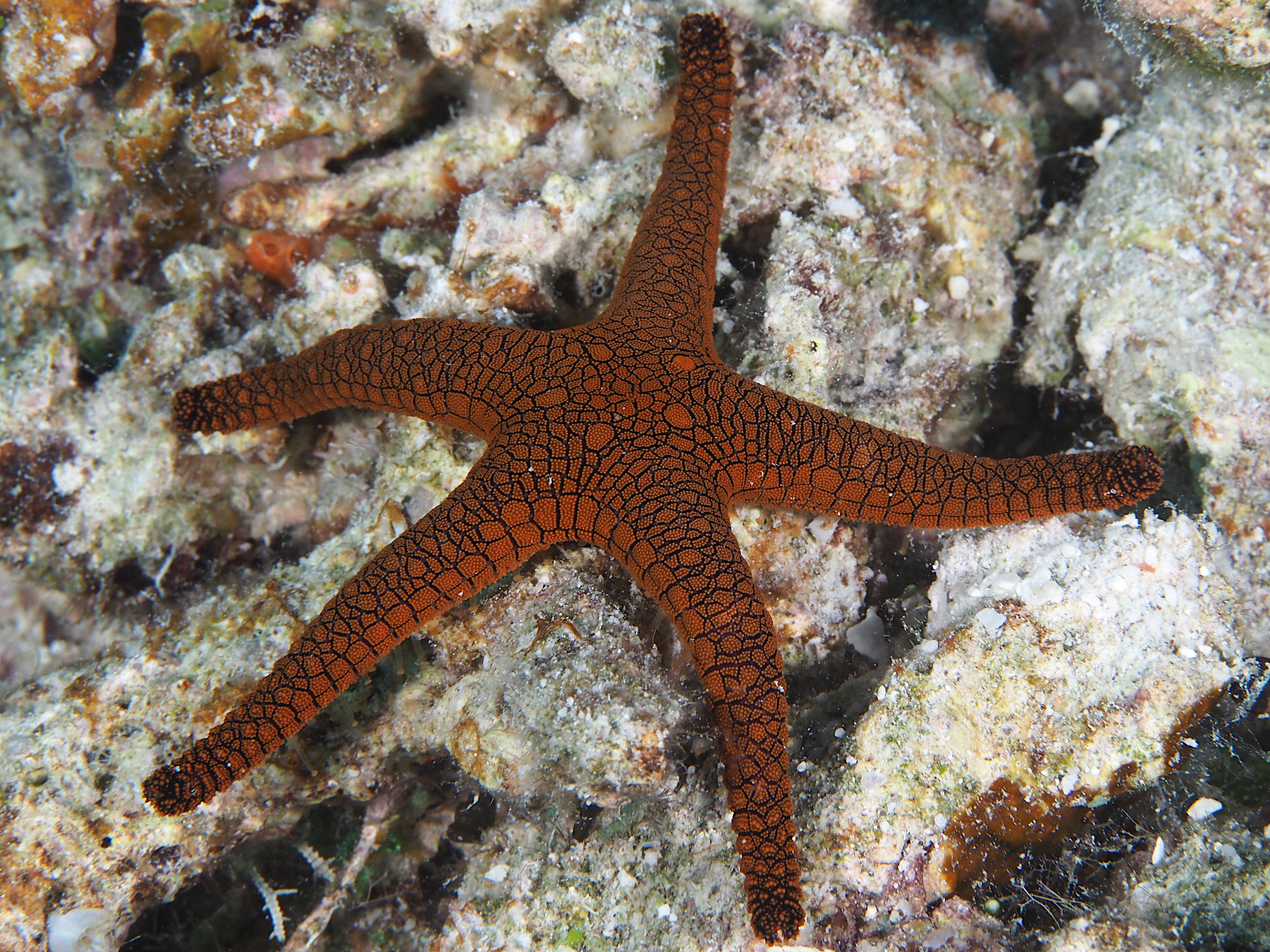 Indian Sea Star - Fromia indica