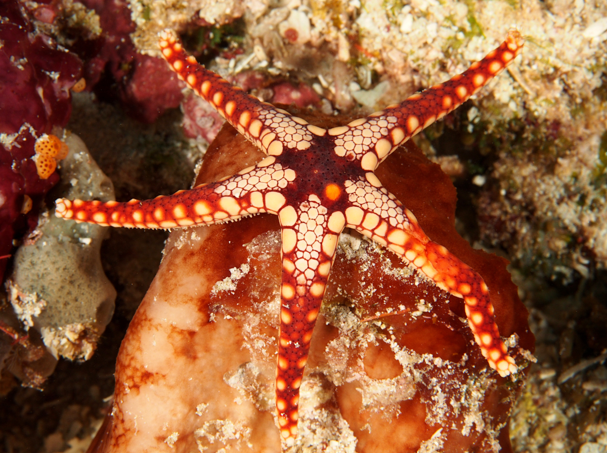 Peppermint Sea Star - Fromia monilis