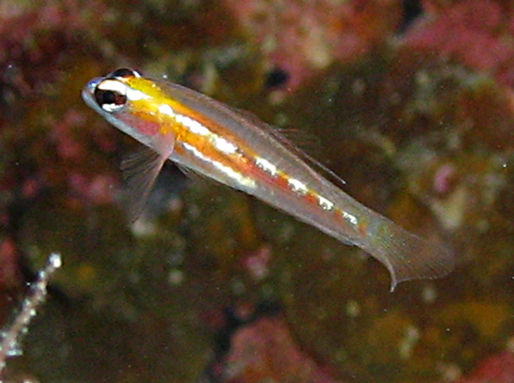 Masked/Glass Goby - Coryphopterus personatus/hyalinus