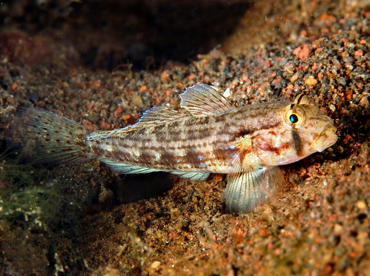 Shoulderbar Goby - Gnatholepis cauerensis - Bali, Indonesia