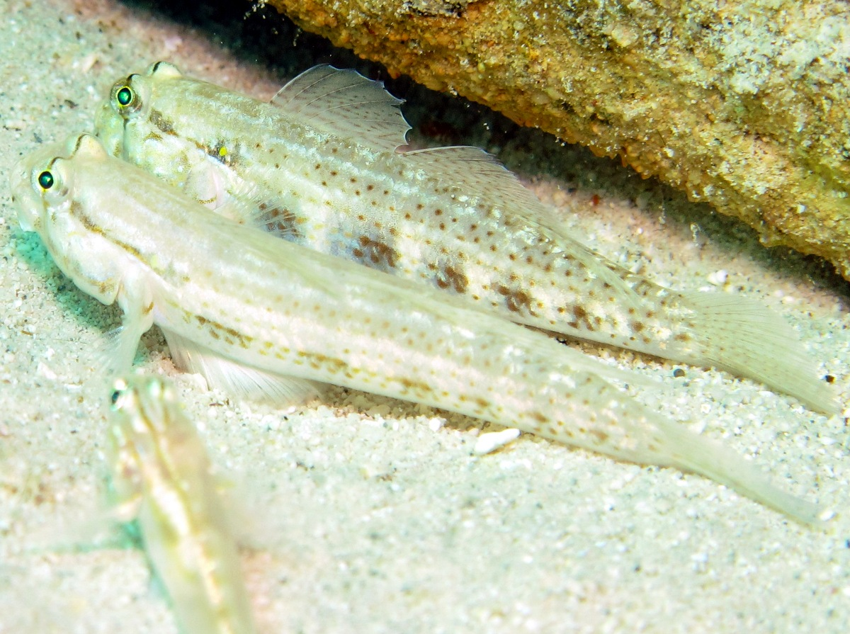 Goldspot Goby - Gnatholepis thompsoni