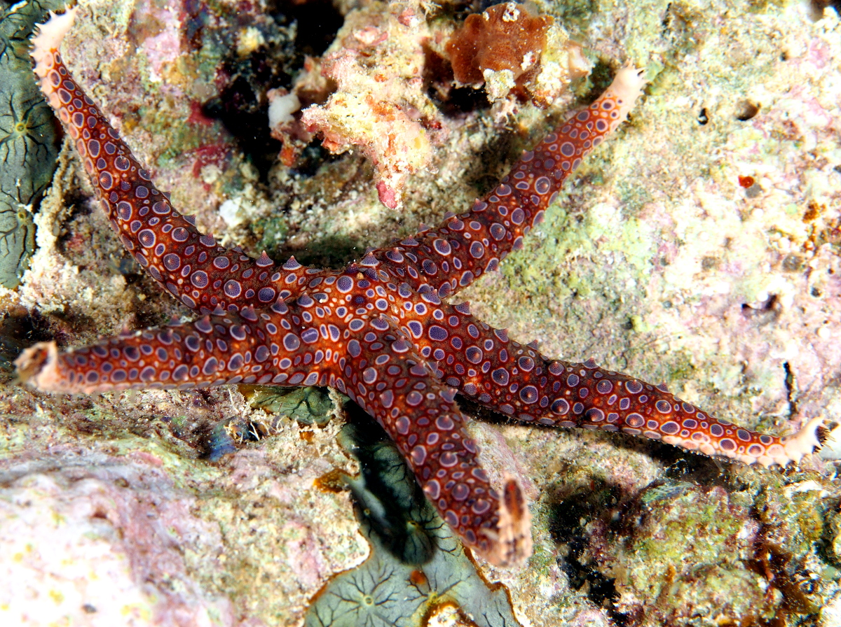 Egyptian Sea Star - Gomophia egyptiaca - Palau