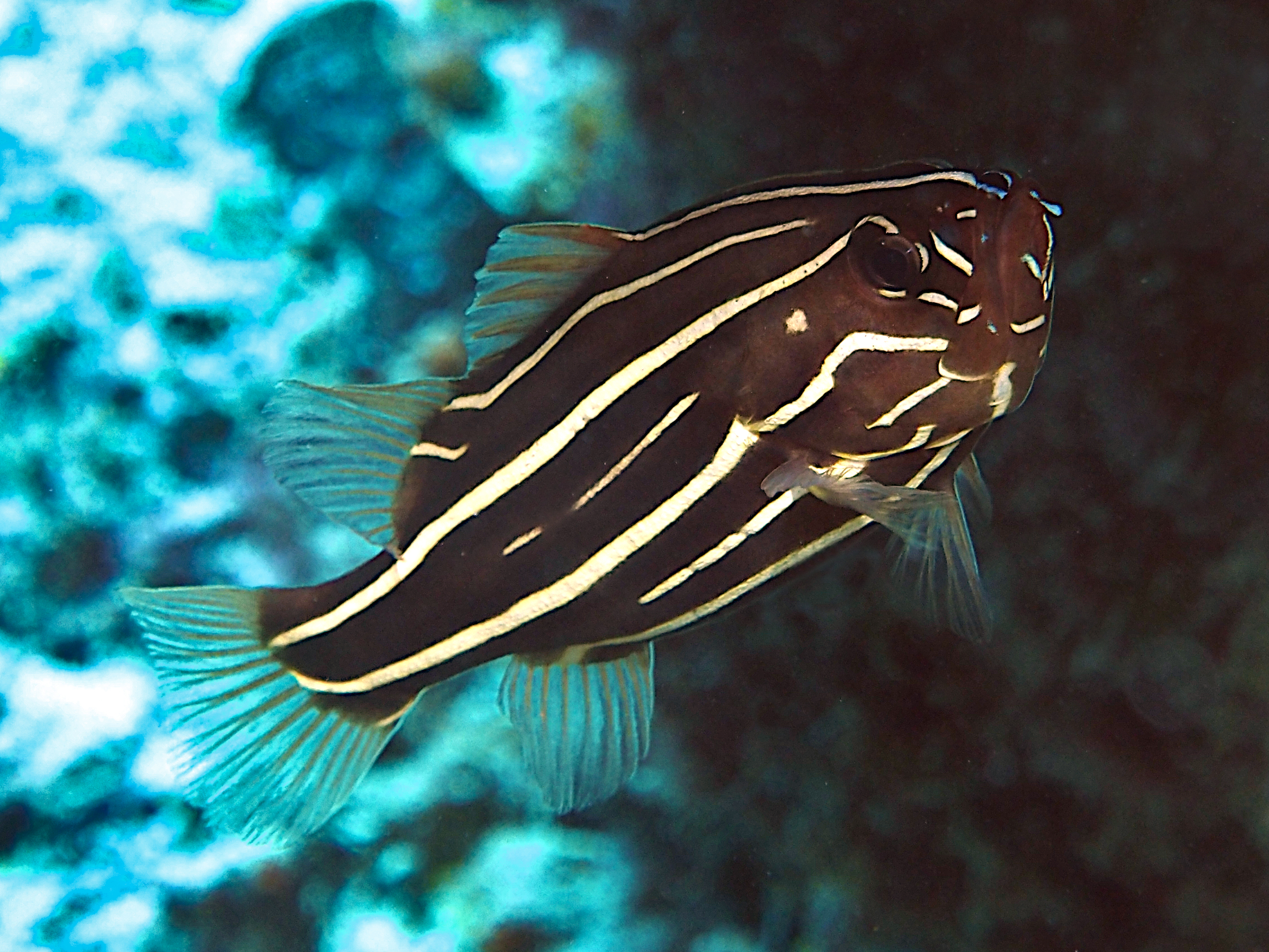 Six-Lined Soapfish - Grammistes sexlineatus - Great Barrier Reef, Australia
