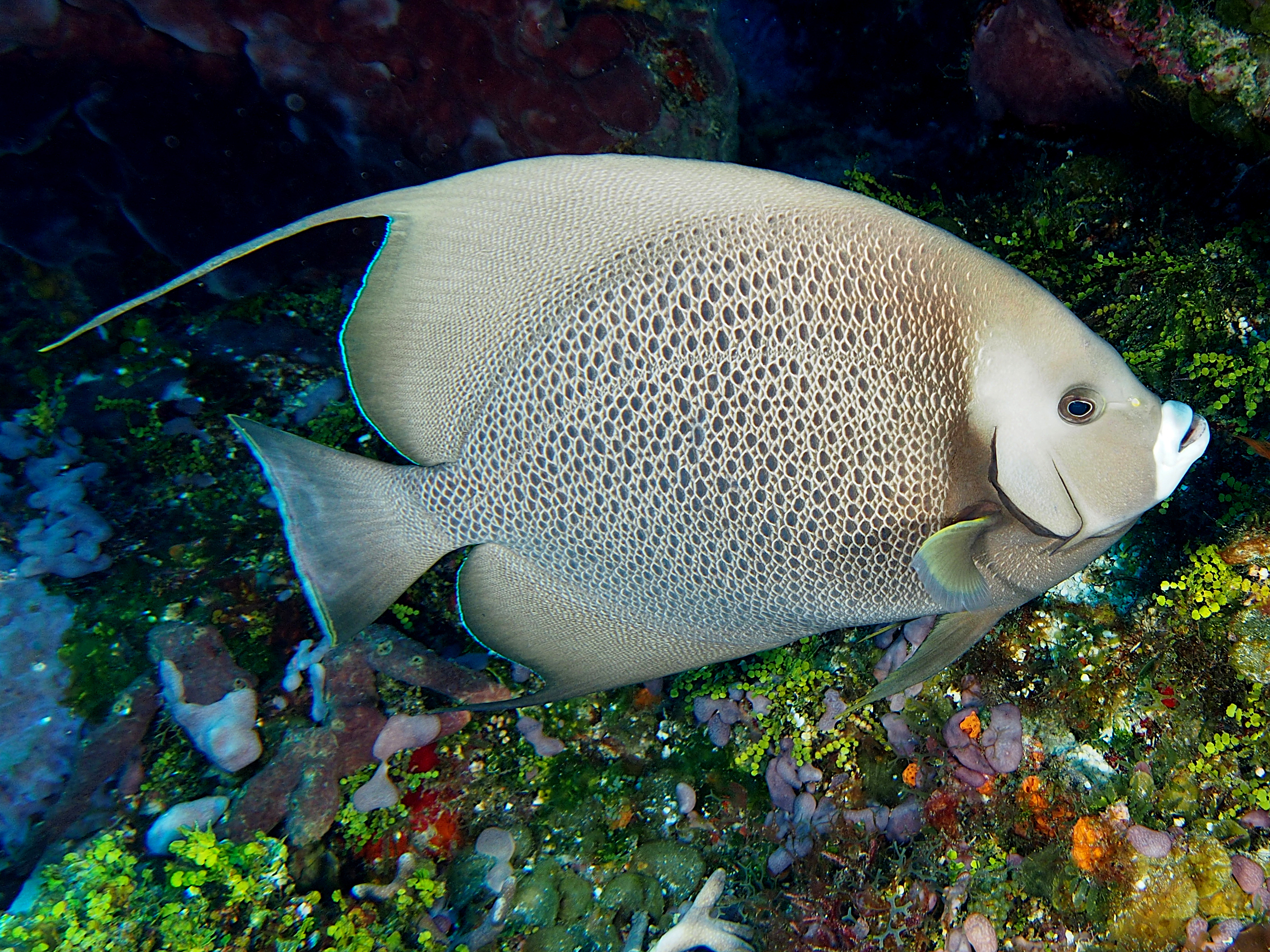 Gray Angelfish - Pomacanthus arcuatus